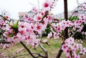 桃花花期多长:花期短,花色艳丽迷人