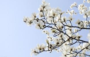 玉兰花的花期:花期长,花开芳香清新