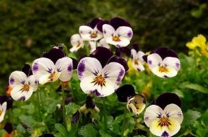 蝴蝶花的花语:思虑、思念、无条件的爱