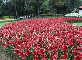 百合花花期:一般7~8月份开花