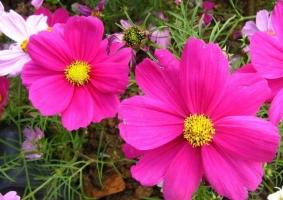 波斯菊的花语:纯洁
