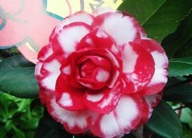 茶花花语:理想的爱、了不起的魅力