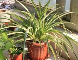 兰草叶子发黄:长期缺肥严重植株会死亡