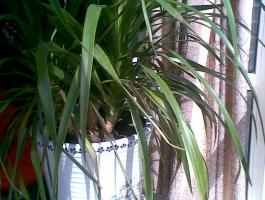 翠兰叶子发黄:湿度过低导致叶子发黄