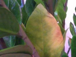 摇钱树叶子发黄怎么办:温度过高过低会使叶子发黄