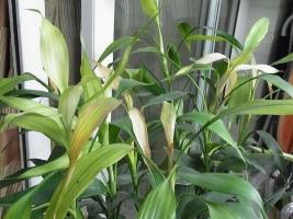 发财竹叶子发黄怎么办:过于茂盛不修剪引叶黄