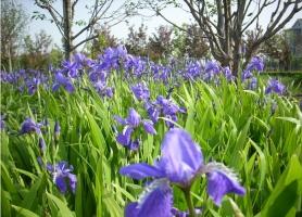 蝴蝶花怎么養:關于蝴蝶花水培土培的養殖方法
