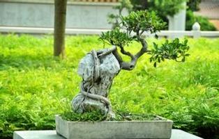 榕树盆景怎么养:关于榕树土培水培的养殖方法