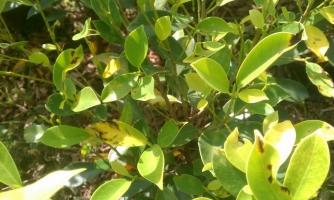 榕树叶子发黄怎么办,要掌握正确的栽培管理方法细心养护
