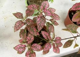 红点草的养殖方法:可用播种和扦插两种方法来繁殖