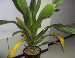 也门铁叶子发黄的6大原因分析和处理方法