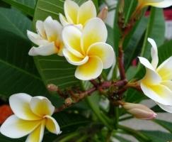 素馨花的养殖方法:素馨花喜温暖向阳