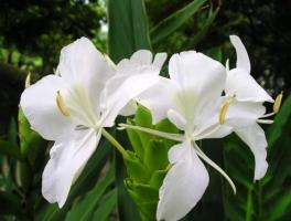 姜花的养殖方法:生长期要经常保持土壤湿润