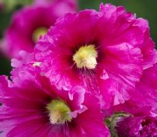蜀葵花的养殖方法:在阳光充足的条件下生长最好