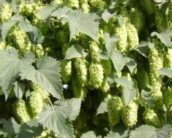 啤酒花的养殖方法:啤酒花喜冷凉,耐寒畏热