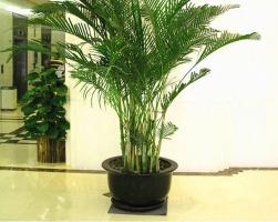 散尾葵的养殖方法:切忌盆土积水