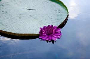 王莲的资料:水生有花植物中的King