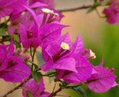 叶子花的养殖方法:喜温暖湿润气候