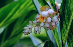 花叶艳山姜的养殖方法:要注意保持土壤湿润,忌过分干燥