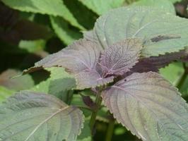 紫苏的功效与作用:主治外感风寒、呕恶腹泻