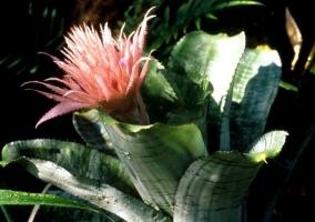 美叶光萼荷的养殖方法:忌夏季强光直射