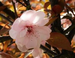 红叶李的养殖方法:秋季控制水量避免枝条过度生长,在冬季遭受冻害