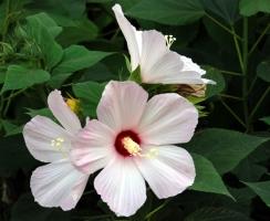 草芙蓉的养殖方法:注意叶子不能沾到水或土壤
