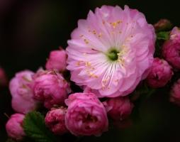 榆叶梅的养殖方法:耐贫瘠少施肥、耐干旱少浇水