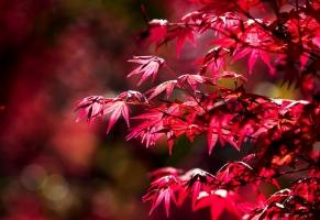 红枫的养殖方法:忌曝晒、水涝