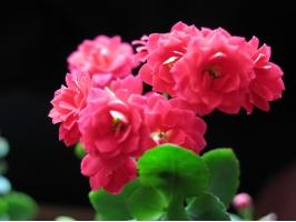 长寿花放在卧室好吗:无毒,可放卧室养殖