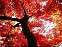 """木棉花的资料:关于""""英雄树""""的全面介绍"""
