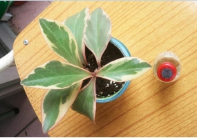 三色椒草的养殖方法:冬季防寒、夏季防热