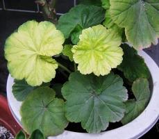 驱蚊草叶子发黄:叶子发黄原因分析及处理方法