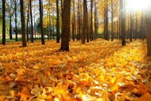 秋天树叶变黄的原因:秋天到来叶绿素被分解