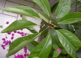 鸭掌木叶子卷曲怎么办:由多种因素引起