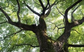 香樟树的特点:生命力强、净化力强、香味独特