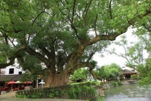 香樟树的功效与作用:祛风、除湿、解毒