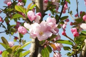 日本海棠的养殖方法:喜阳光、湿润,怕渍水
