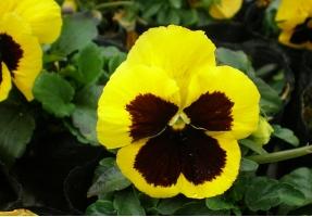 三色堇的养殖方法:充足的水分对花朵的增大和花量很有必要