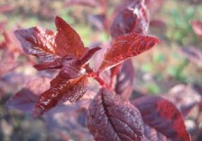 红叶李和紫叶李的区别:紫叶李叶大而厚,红叶李叶小而薄
