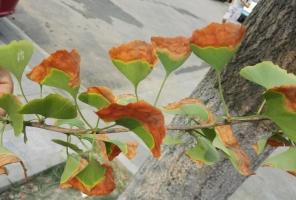 银杏树叶黄了