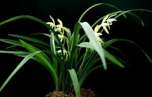 冬天兰花怎样养护:控制温度和浇水是重点