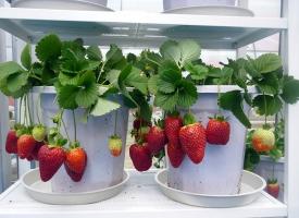 盆栽草莓施肥