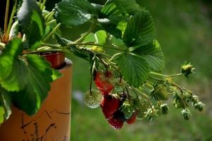 盆栽草莓怎样种植:苗期注意浇水,除虫、草