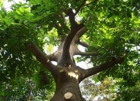 野外绝不能碰的有毒澳门威尼斯人真钱:最毒的树——见血封喉