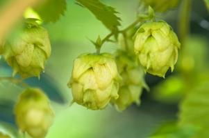 啤酒花的作用:具有较高的药用和食用价值