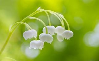 风铃草的传说:仙踪林的守护者—风铃草