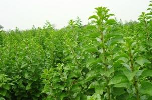 菜用枸杞怎样种植:喜光,耐寒耐暑,耐旱忌湿