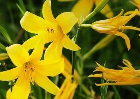 黄花菜怎样种植:介绍黄花菜的地栽种植流程