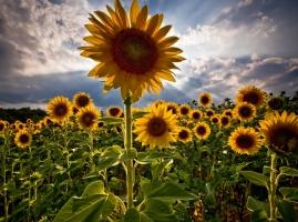 向日葵的诗句:古代和现代描写向日葵的诗歌集锦